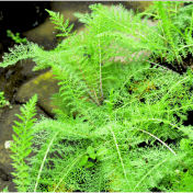 tanaman daun seribu -taman husada tanaman obat
