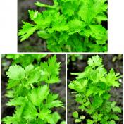 Apium graveolens (Seledri) - Tanaman Obat - Taman Husada