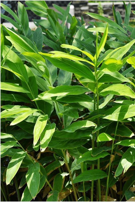 Lengkuas - tanaman obat taman husada