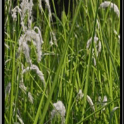 Alang-alang - Imperata cylindrica (L.) P.Beauv. - tanaman obat taman husada