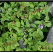 daun poko Mentha - Mentha arvensis L. taman husada tanaman obat
