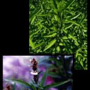 Gandarusa - Justicia gendarussa Burm.f. tanaman obat taman husada