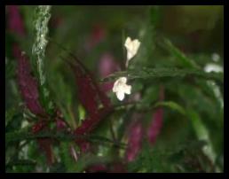 Keji besi - Hemigraphis repanda (L.) Hallier f. - tanaman obat taman husada