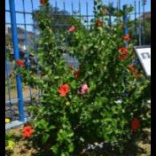 Kembang sepatu - Hibiscus rosa-sinensis L. - tanaman obat taman husada