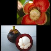Manggis - Garcinia mangostana L. - tanaman obat taman husada