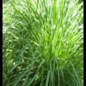 Sereh - Cymbopogon nardus (L.) Rendle - tanaman obat taman husada