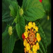 Tembelekan - Lantana camara Linn. tanaman obat taman husada