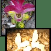 Temu putih - Curcuma zedoaria (Christm.) Roscoe. - taman husada tanaman obat