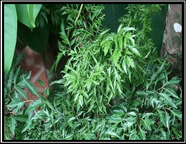 Andong Laut - Nothopanax fruticosum (L.) Miq.