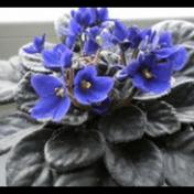 Violces - Saintpaulia ionantha H. Wendl. - tanaman obat taman husada