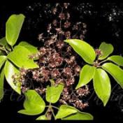 Walisongo - Schleffera elliptica (Blume) Harms -tanaman obat taman husada