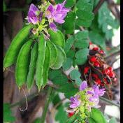 Saga - Abrus precatorius - tanaman obat taman husada