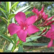 Bunga Mentega - Nerium oleander L. tanaman obat taman husada