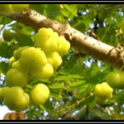 Cermai - Phyllanthus acidus (L.) Skeels - tanaman obat taman husada