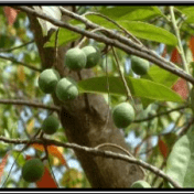 Genitri - Elaeocarpus sphaericus (Gaertn.) K.Schum. - tanaman obat taman husada