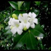 Kemuning - Murraya paniculata (L.) Jack - tanaman obat taman husada