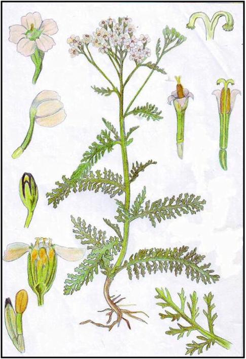 Ilustrasi tanaman daun seribu