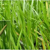 Dlingu - Acorus Calamus - tanaman obat taman husada