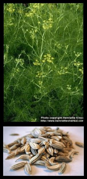 Adas - Foeniculum vulgare Mill. - tanaman obat taman husada