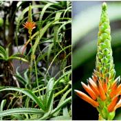 aloe vera - tanaman obat taman husada