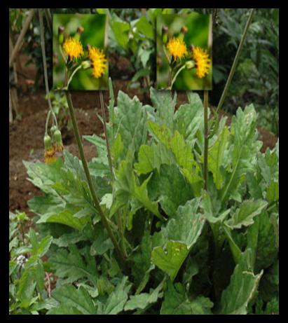 Daun dewa - Gynura segetum (Lour.) Merr. - tanaman obat taman husada