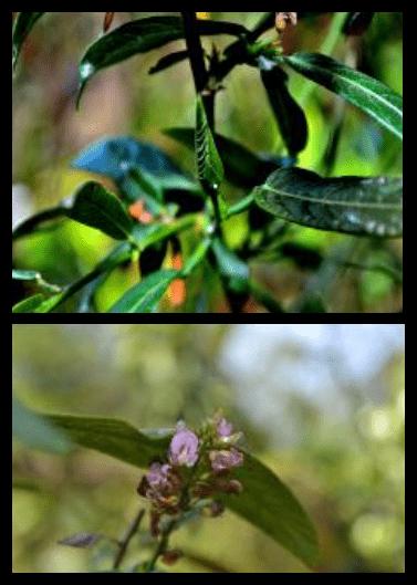 Daun duduk - Desmodium triquetrum (L.) DC - tanaman obat taman husada