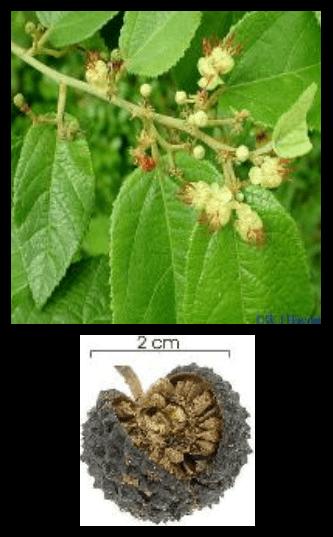 Jati Belanda - Guazuma ulmifolia Lam. - tanaman obat taman husada