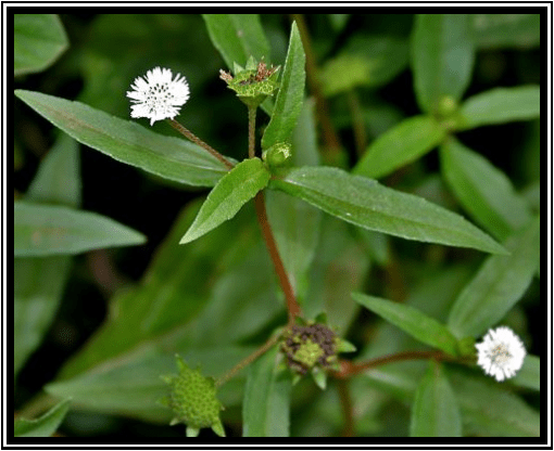 Urang-aring - Eclipta alba L.Hassk. - tanaman obat taman husada