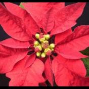 Daun Merah - Euphorbia pulcherrima Willd. ex. Klotzsch tanaman obat taman husada