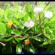 Sambung Nyawa - Gynura procumbens (Blume) Miq. tanaman obat taman husada
