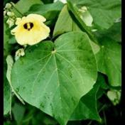 Waru Dewa - Hibiscus tiliaceus L. tanaman obat taman husada