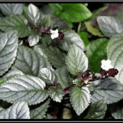 Daun Syaraf / Sambang Getih - Hemigraphis colorata Hall.f. tanaman obat taman husada