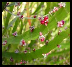 Jakang - Homalocladium platycladum (F.Muell) L.H.Bailey tanaman obat taman husada
