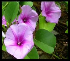 Tapak Kuda - Ipomoea pes-caprae (L.) R.Br. tanaman obat taman husada