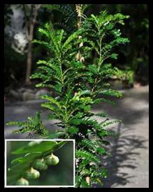 Seligi - Phyllanthus buxifolius (Blume) Mull. Arg.
