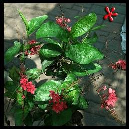 Ceraka Merah - Plumbago indica
