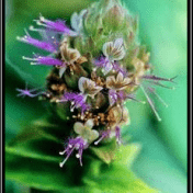 Dilem / Nilam - Pogostemon cablin (Blanco) Benth.
