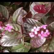 Posor - Pseudoranthemum diversifolium Miq. - tanaman obat taman husada