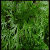 Cakar Ayam - Selaginella doederleinii Hieron. - tanaman obat taman husada