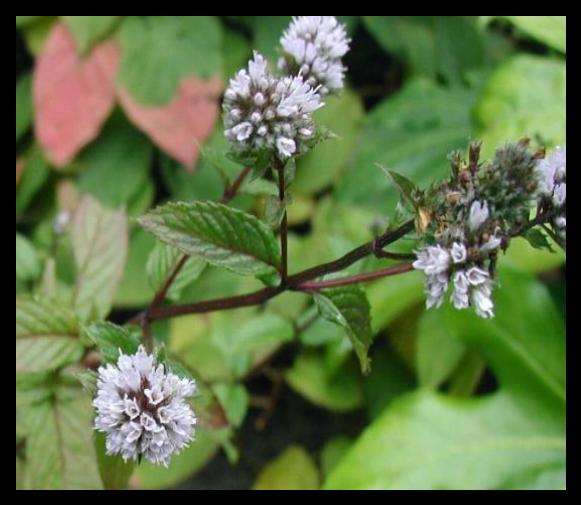 Daun permen-Mentha x piperita L tanaman obat taman husada