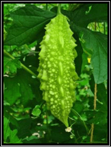 Pare - Momordica charantia L. tanaman obat taman husada