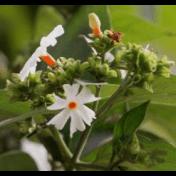 Srigading - Nyctanthes arbor-tristis L. - tanaman obat taman husada