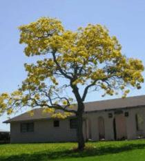 Tabebuia - Tabebuia argentea Britton - tanaman obat taman husada