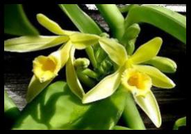 Vanili - Vanilla planifolia Andrews - tanaman obat taman husada